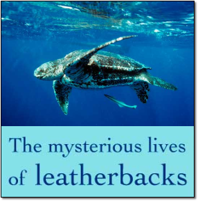 The mysterious lives of leatherbacks